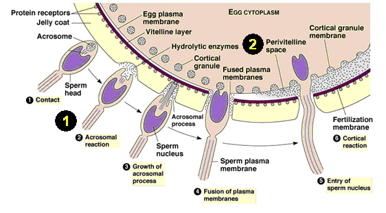 sperm and egg fusion